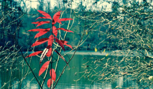 Read leaves overlooking a green pond